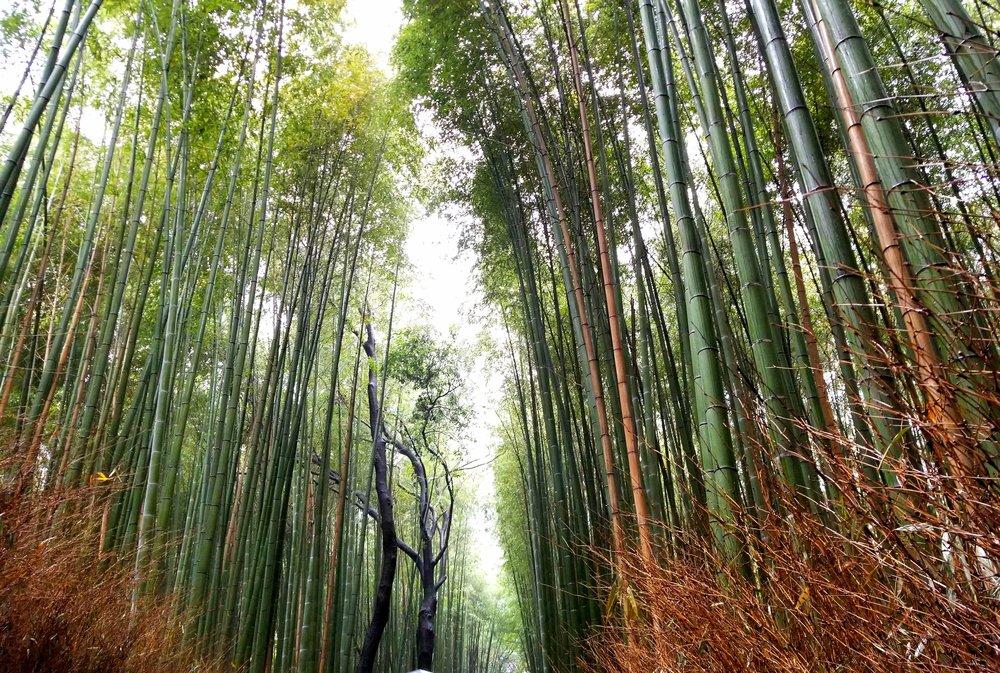 uprooted-traveler--Arashiyama-bamboo-forest-kyoto.jpg