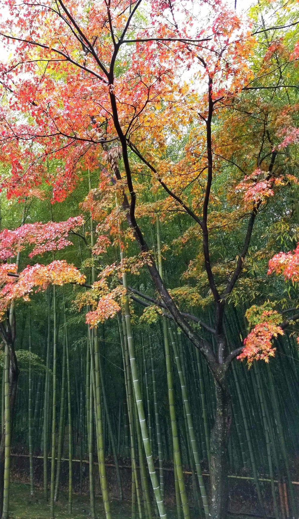 uprooted-traveler--Arashiyama-bamboo-forest-kyoto-4.jpg