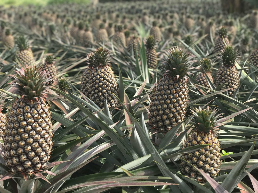 Rows upon rows of pineapples, growing on Dr Turmeric's eco-farm in Taiwan.