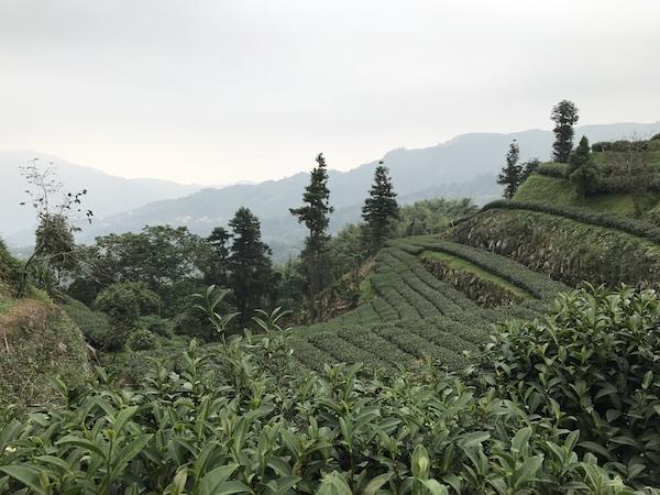 Beautiful tea eco-garden at the top of Alishan...