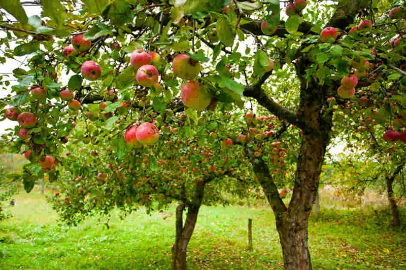 GardenClub-apple_tree.jpg