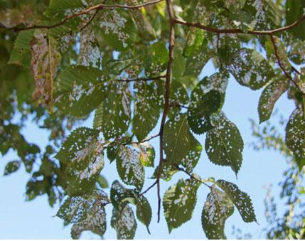 Elm-leaf-beetle1.jpg