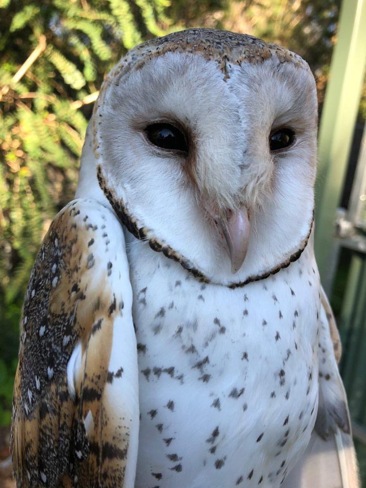 Minton-Farm-Owl_July.jpg