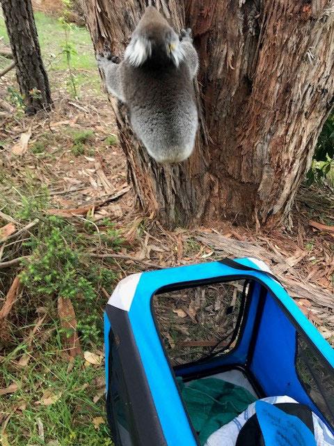CC-Nov-2018-MFS-Koala-Rescue.jpg