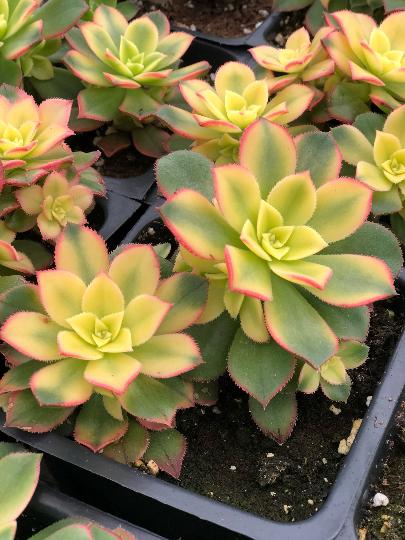 aeonium kiwi in succulent love