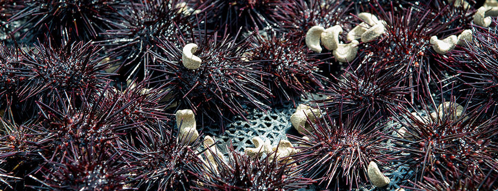 Urchins with feed. Photo: Kita Murasaki