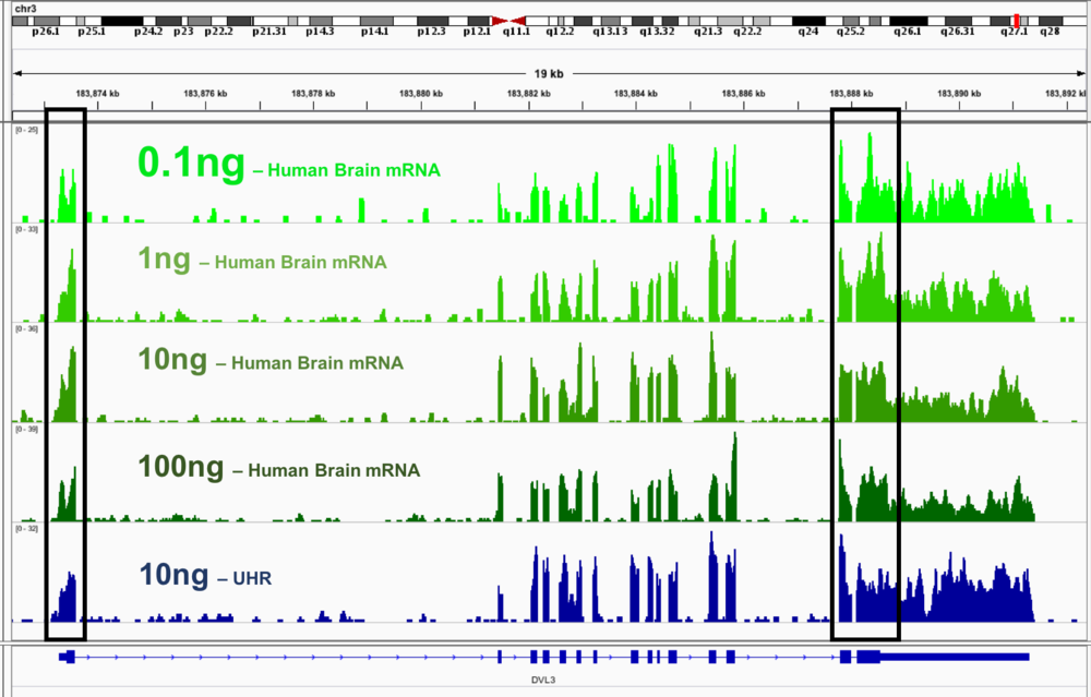Improved detection and uniform coverage obtained from a broad range of RNA concentration. Shown here is the  DVL3  transcript, which contains regions of very high GC (outlined in black). GC rich regions are difficult to cover using other commercial kits. The green traces represent different sample inputs: respectively from a top 0.1ng, 1ng, 10ng and 100ng of Human Brain mRNA. Bottom trace (Blue) was generated with 10ng of UHR RNA which was Ribo-depleted.