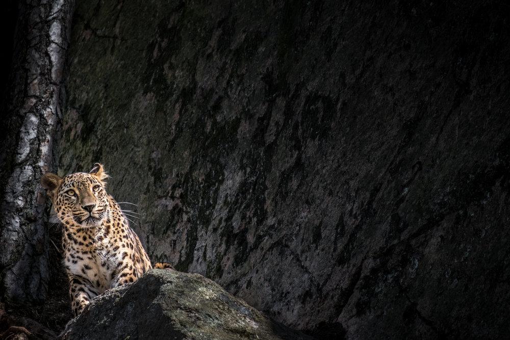 """Persisk leopard. Den här bilden vann även priset """"Årets bild 2017"""" i Zoom Fotoresors årliga tävling."""