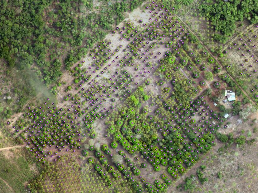 MANGO TREE COUNT