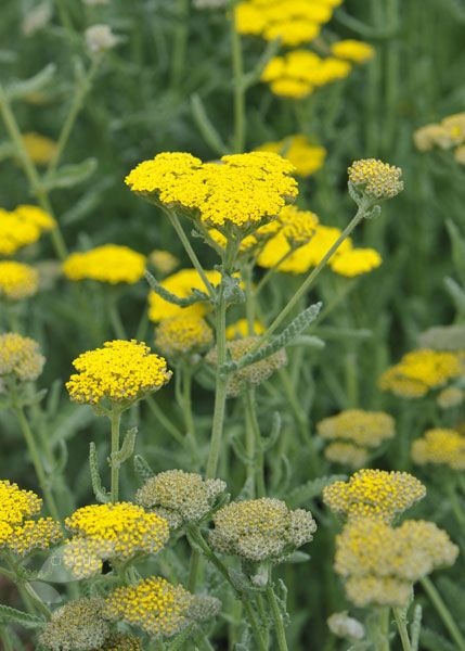 Achillea/Yarrow from American Meadows