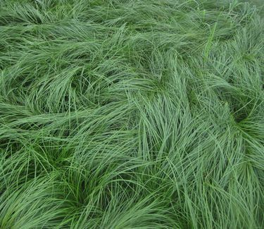 Carex Sedge Grass