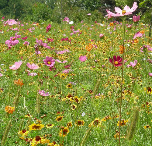 Northeast Wildflower Mix