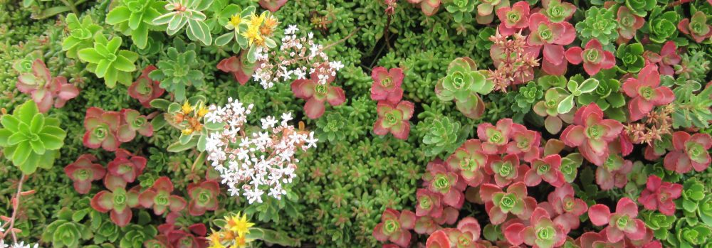 Sedum Trays from Eco-Roofs