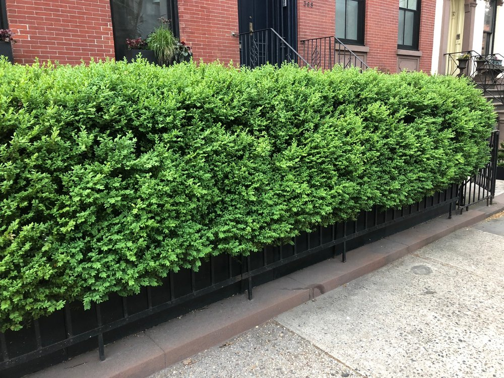 'Green Mountain' Boxwood