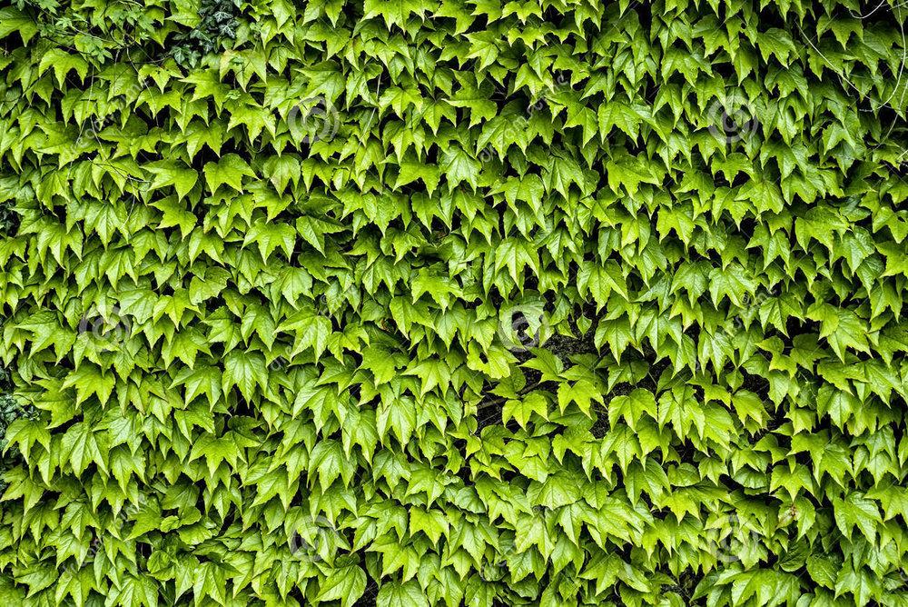 virginia-creeper-wall.jpg