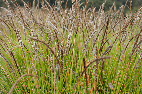 Autumn Moor Grass