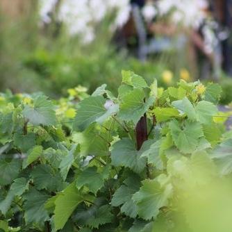 Vignoble Sainte-Pétronille -
