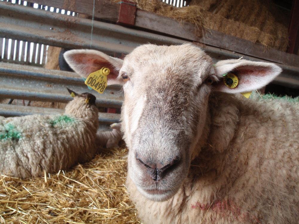 Clotilde the sheep posing for a photo
