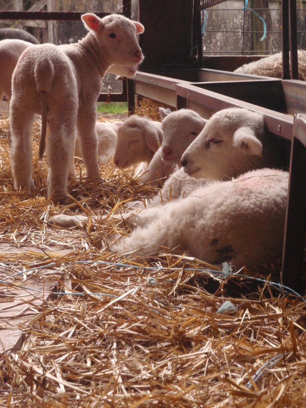 Lambs enjoying the sun