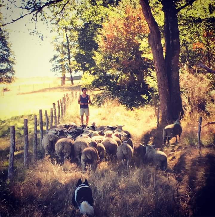 Herding the sheep through the forest