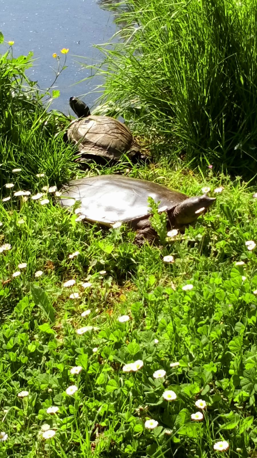Turtle and terrapin sunbathing