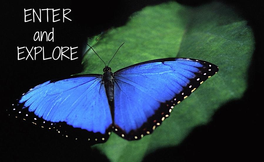 morpho-blue-butterfly.jpg