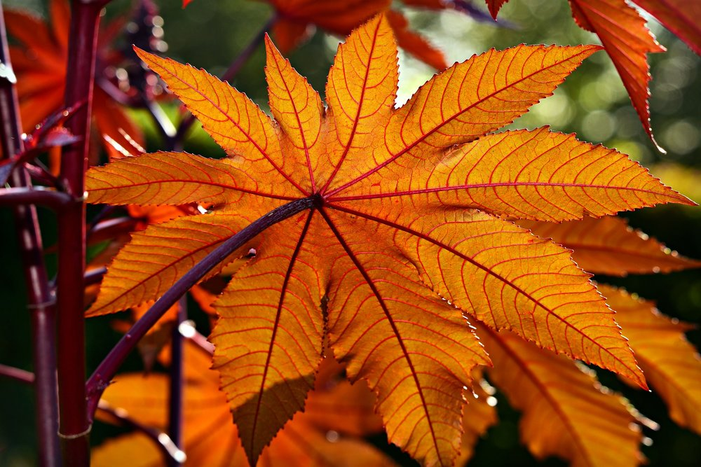 Ricinu Communis (Castor Oil Plant) leaf.