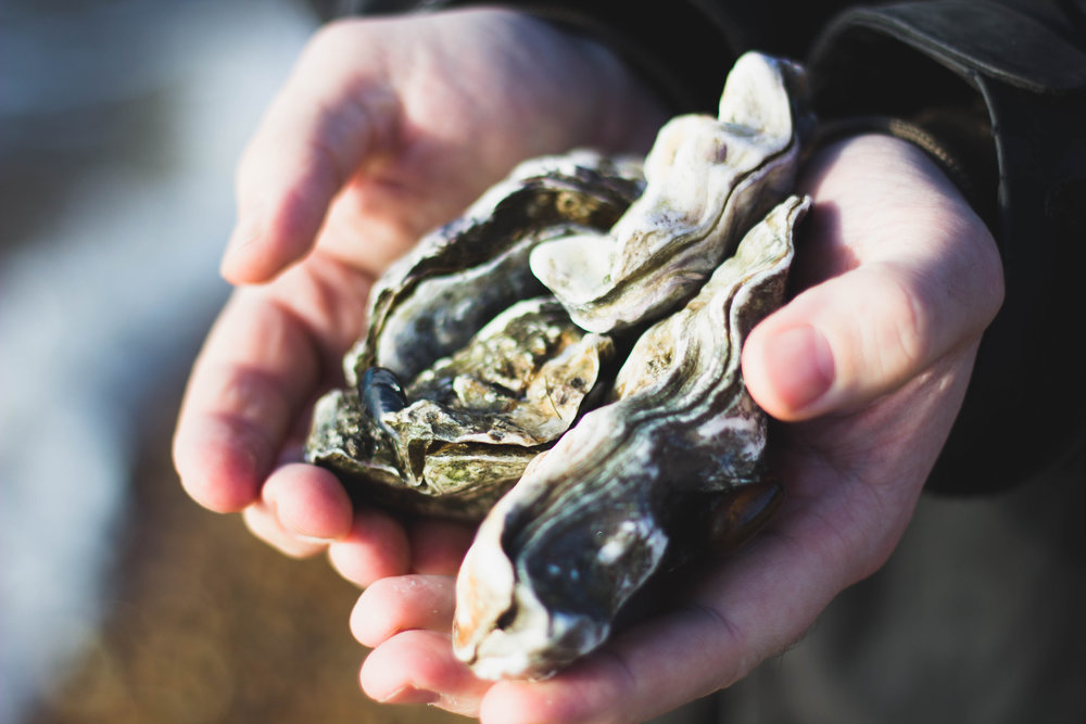 Hands holding grown oysters.