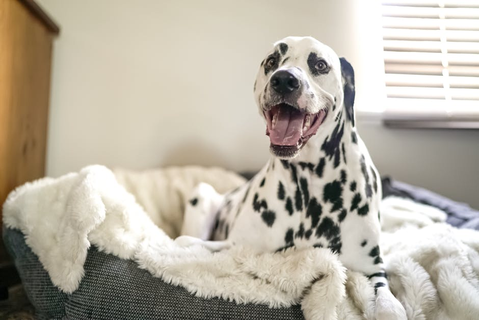 Dalmatian on bed