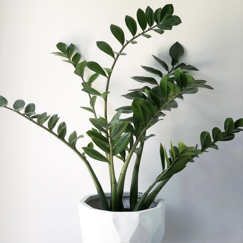 zz plant - Zamioculcas zamiifoliaThis plant can survive even the blackest of green thumbs! Water it, or don't. Give it lots of sunlight, or don't. The ZZ plant is extremely resilient and makes a great starter plant.Light: Tolerant of low light or bright, indirect light.Water: Let top inch of soil dry before watering. This plant has a succulent-like root system, so don't over-water. Less is more!