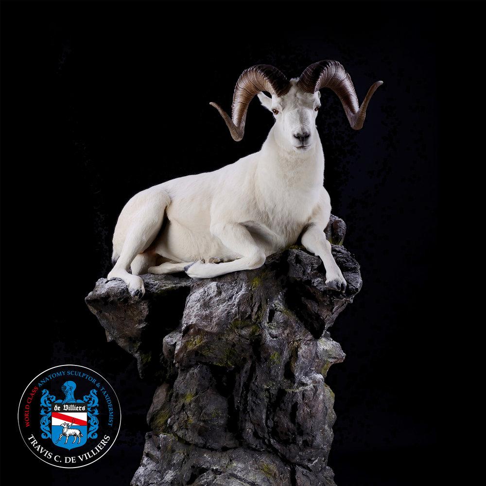 Dall Sheep - Ovis dalli