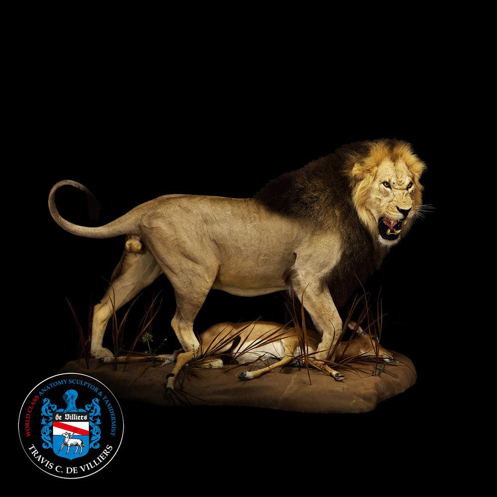 Snarling Lion - Panthera leo