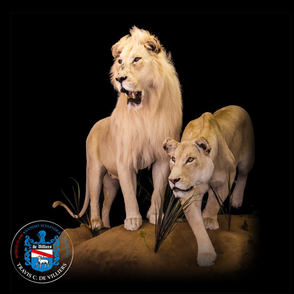 White Lions - Panthera leo melanochaita