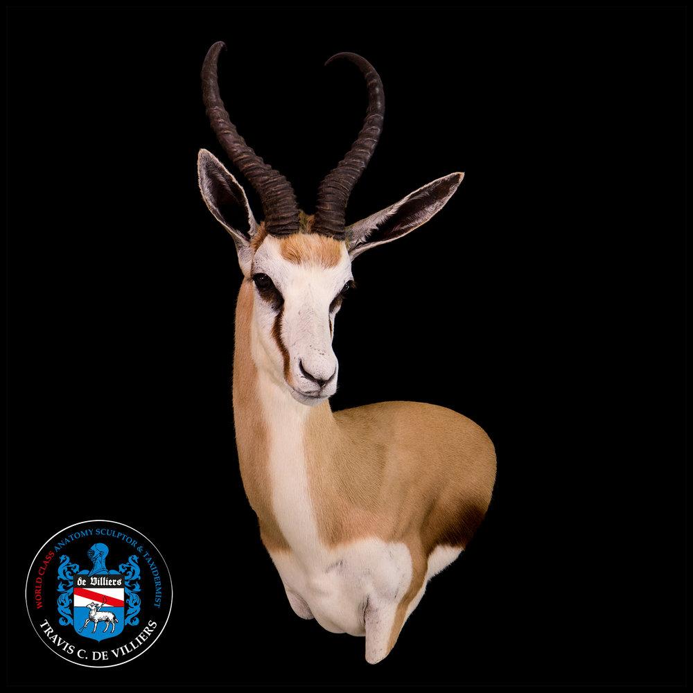 Springbok - Antidorcas marsupialis