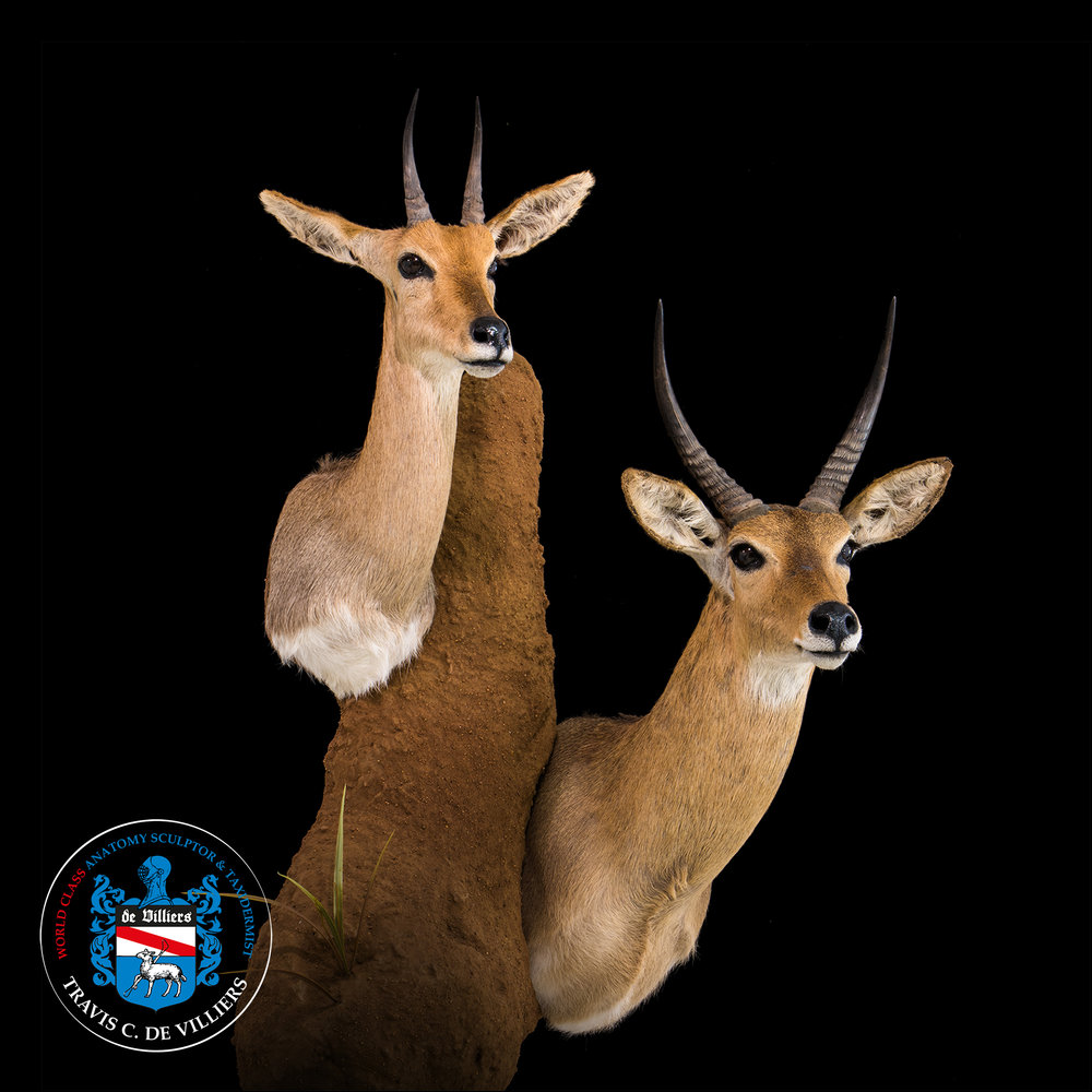 Two Reedbuck - Redunca