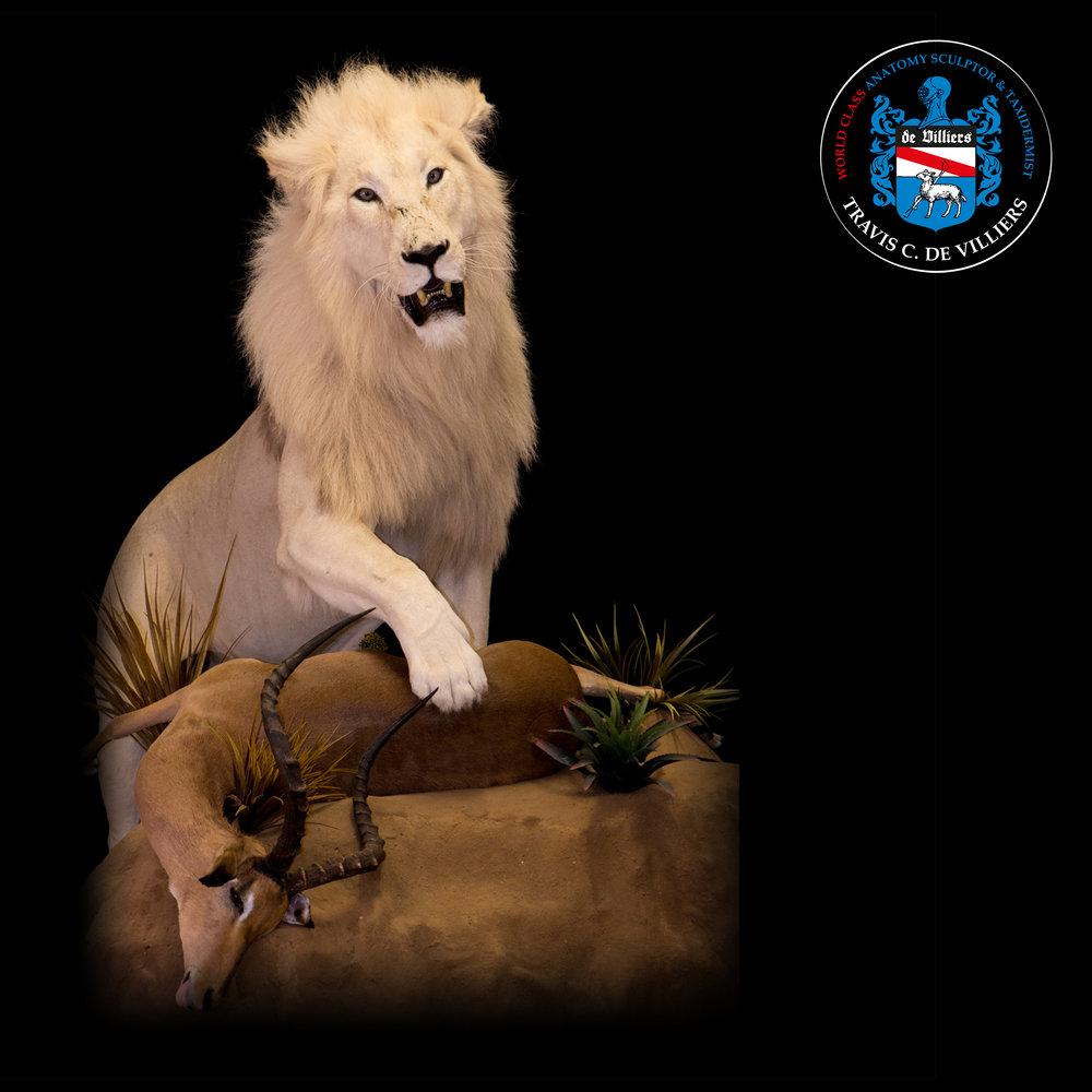 Male White Lion - Panthera leo melanochaita