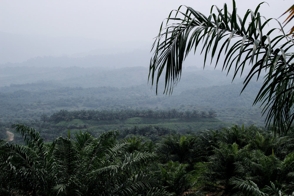 Northern Sumatra, Indonesia- Palm oil plantations replace rainforest to keep up with consumer demand