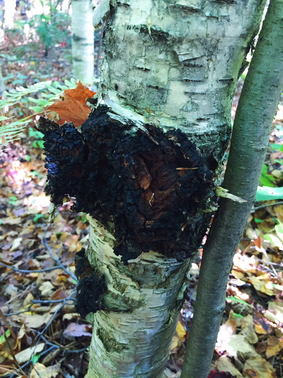 Chaga mushroom growing wild in Northern Ontario, Canada
