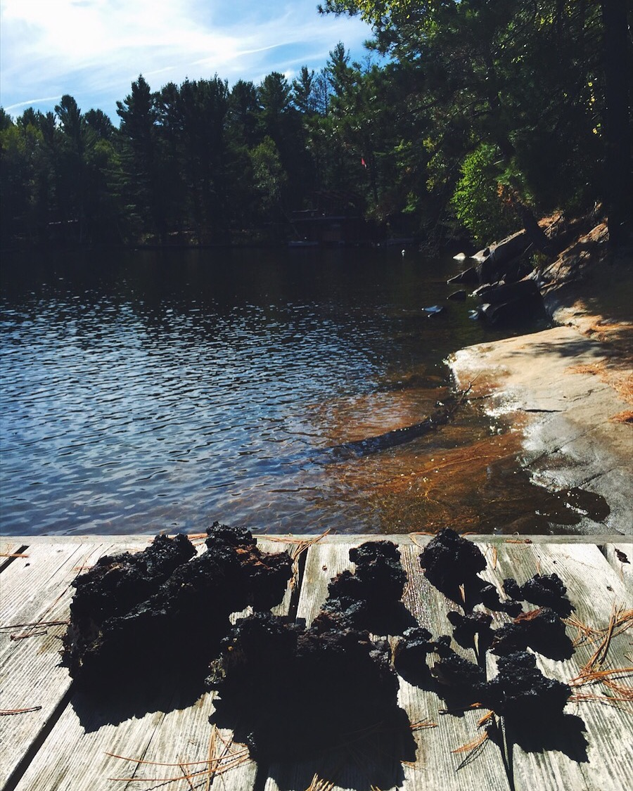 Freshly harvested wild chaga drying in the sun after being cleansed in the lake.