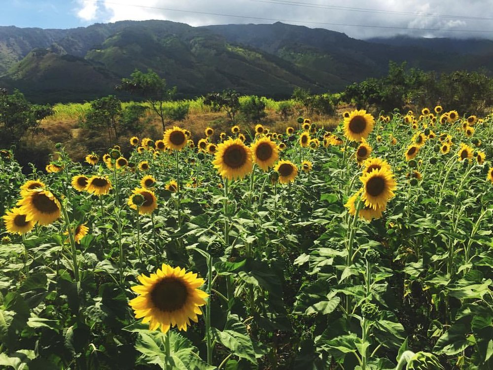 Sunflower field on Maui, Hawai'i.