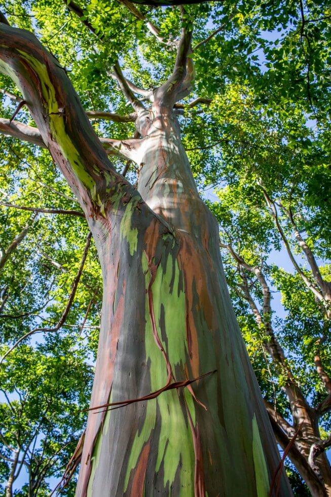 Natural rainbow bark on Eucalyptus trees...so magical.