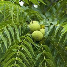 black walnut.jpeg