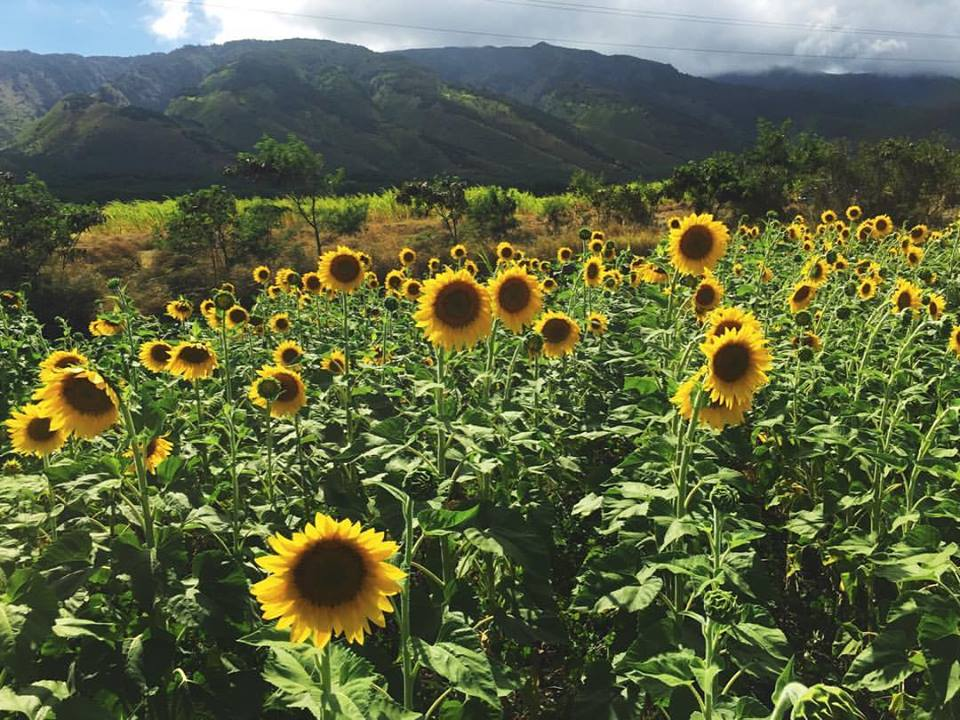 sunflower on maui.jpg