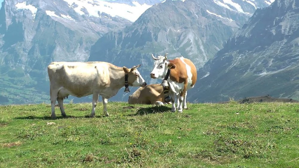 Cows grazing on grass in the Swiss Alps. Grass-fedAF.