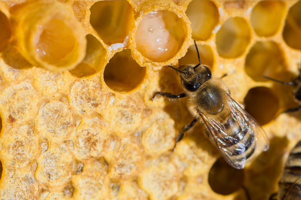 Royal Jelly inside the hive. ( Image: Shutterstock)