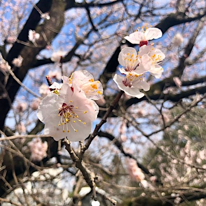 Close up of cherry blossoms at the National Botanical Garden in Tsukuba