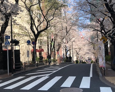 Famous cherry blossom street in Tokyo