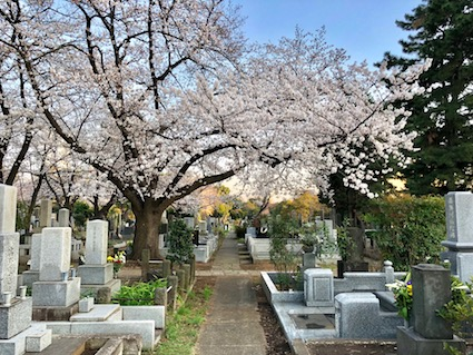 Aoyama cemetery, known for its cherry blossoms