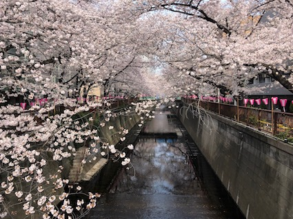 Lanterns are placed along the canal to light the Sakura at night