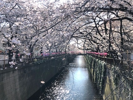 Cherry blossoms along the canal in Nakameguro, Tokyo